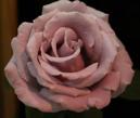 roseShow-1